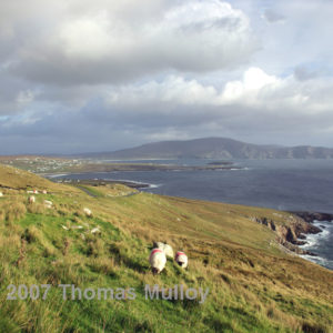 Sheep hanging out roadside on Achill Island, Co. Mayo, Ireland, with the majestic Minaun Cliffs in the background.